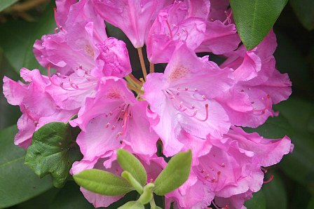 rhododendrons1.jpg