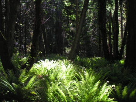forest-ferns.jpg