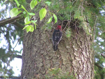 red-breasted-sapsucker.jpg